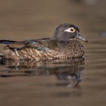 4196 Female Wood Duck (Aix sponsa), Victoria BC