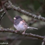 4198 Pink-sided Dark-eyed Junco (Junco hyemalis), Vancouver Island, Canada