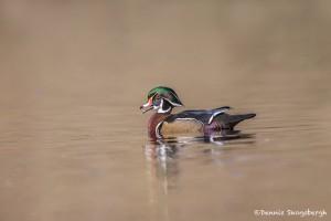 4199 Male Wood Duck (Aix sponsa), Victoria, BC