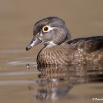 4200 Female Wood Duck (Aix sponsa), Victoria, BC