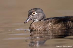 4200 Female Wood Duck (Aix sponsa), Victoria, BC