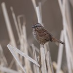 42032 Song Sparrow (Melospiza melodia), Vancouver Island, Canada