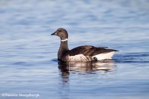 4210 Brant Goose (Branta bernicla), Vancouver Island, Canada