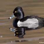 4213 Male Ring-necked Duck (Aythya collaris), Victoria, BC
