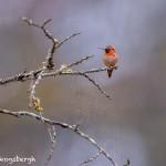 4214 Male Rufous Hummingbird (Selasohorus rufus), Vancouver Island, Canada