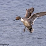 4219 Male Northern Pintail (Anas acuta), Vancouver Island, Canada