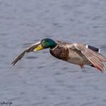 4222 Male Mallard (Anas platyryhnchos), Vancouver Island, Canada