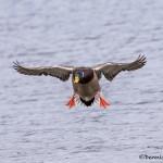 4223 Male Mallard (Anas platyrhynchos), Victoria, BC