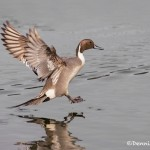 4224 Male Northern Pintail (Anas acuta), Vancouver Island, Canada