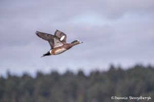 4225 Male American Wigeon (Anas americana), Vancouver Island, Canada