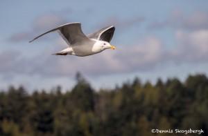 4227 Glacous Gull (Larus hyperboreus), Vancouver Island, Canada
