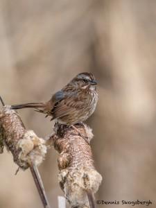 4228 Song Sparrow (Melospiza melodia), Vancouver Island, Canada