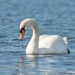 4232 Mute Swan (Cygnus olor), Vancouver Island, Canada
