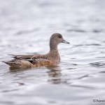 4237 Female American Wigeon (Anas americana), Vancouver Island, Canada