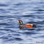 4240 Harlequin Duck (Histrionicus histrionicus), Vancouver Island, Canada