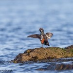 4241 Harlequin Duck (Histrionicus histrionicus), Vancouver Island, Canada