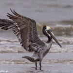 4256 Brown Pelican (Pelicanus occidentalis), Bolivar Peninsula, Texas