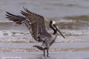 4256 Brown Pelican (Pelicanus occidentalis), Bolivar Peninsula, Texas