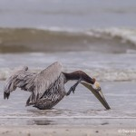 4257 Brown Pelican (Pelicanus occidentalis), Bolivar Peninsula, Texas