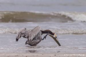 4257 Brown Pelican (Pelicanus occidentalis), Bolivar Peninsula, Texas