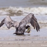4258 Brown Pelican (Pelicanus-occidentalis), Bolivar Peninsula, Texas