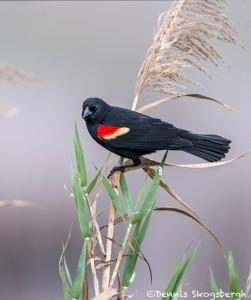 4259 Male Red-winged Blackbird (Agelaius phoeniceus), Bolivar Peninsula, Texas