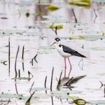 4262 Black-necked Stilt (Himantopus mexicanus), Anahauc NWR, Texas