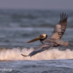 4265 Brown Pelican (Pelicanus occidentalis), Bolivar Peninsula, Texas