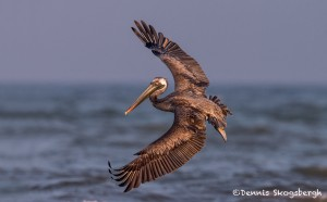 4266 Brown Pelican (Pelicanus occidentalis), Bolivar Peninsula, Texas