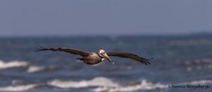 4271 Brown Pelican (Pelicanus occidentalis), Bolivar Peninsula, Texas
