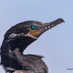 4273 Neotropic Cormorant (Phalacrocorax brasilianus), Anahuac NWR, Texas