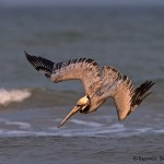 4274 Brown Pelican (Pelicanus occidentalis), Bolivar Peninsula, Texas
