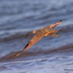 4277 Long-billed Curlew (Numenius americanus), Bolivar Peninsula, Texas