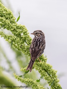 4278 Female Red-winged Blackbird (Agelaius phoeniceus), Anahuac NWR, Texas