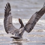 4280 Brown Pelican (Pelicanus occidentalis), Bolivar Peninsula, Texas