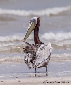 4281 Brown Pelican (Pelicanus occidentalis), Bolivar Peninsula, Texas