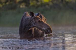4428 Sunrise, Cow Moose, Algonquin Park, Ontario, Canada