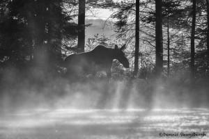 4430 Cow Moose, Algonquin Park, Ontario, Canada