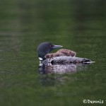 4431 Loon (Great Northern Loon, Gavia immer) with Chick, Algonquin Park, Ontario, Canada