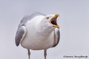 4434 Herring Gull (Larus argentatus), Algonquin Park, Ontario, Canada