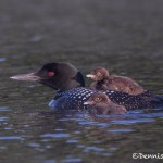 4436 Great Northern Loon (Gavia immer) with Chicks, Algonquin Park, Ontario, CA