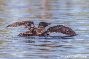 4441 Great Northern Loon (Gavia immer) with Chicks, Algonquin Park, Ontario, Canada