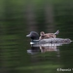 4442 Great Northern Loon (Gavia immer) with Chick, Algonquin Park, Ontario, Canada