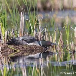 4444 Nesting Great Northern Loon (Gavia immer), Algonquin Park, Ontario, Canada