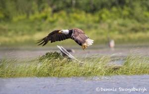 4446 Bald Eagle, Algonquin Park, Ontario. Canada
