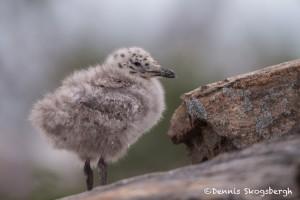 4447 Herring Gull Chick (Larus argentatus), Algonquin Park, Ontario, Canada