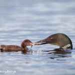 4448 Great Northern Loon (Gavia immer) Feeding Chick, Algonquin Park, Ontario, Canada