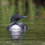 4456 Great Northern Loon (Gavia immer), Algonquin Park, Ontario, Canada