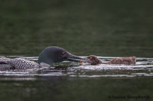 4457 Great Northern Loon (Gavia immer) Feeding Chick, Algonquin Park, Ontario, Canada