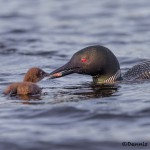 4461 Great Northern Loon (Gavia immer), Algonquin Park, Ontario, Canada